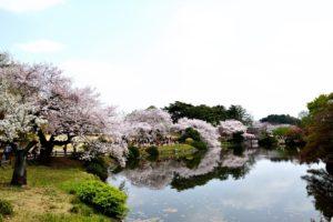 新宿御苑, 桜